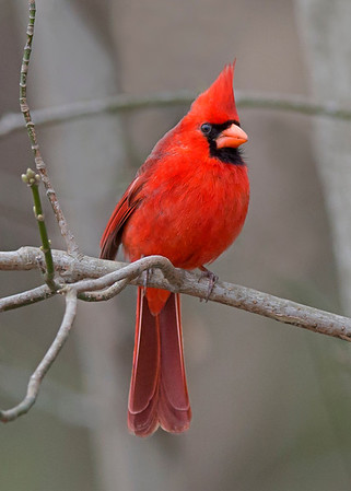 northern cardinal, Dutch Gap, Chester, VA in March