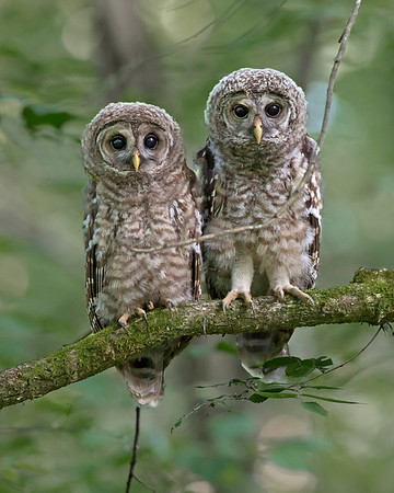 barred owl siblings in May, Pony Pasture, James River Park System, Richmond, VA