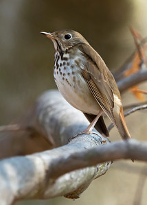 hermit thrush, Cold Harbor in Mechanicsville, VA in March