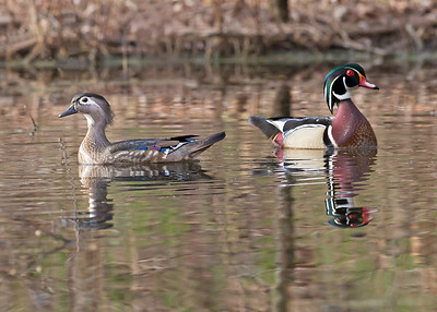 wood duck pair, Dutch Gap, Chester, VA in March