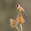Goldfinch - Shropshire, England (November 2018)