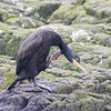 Shag - Farne Islands - Northumberland (July 2019)