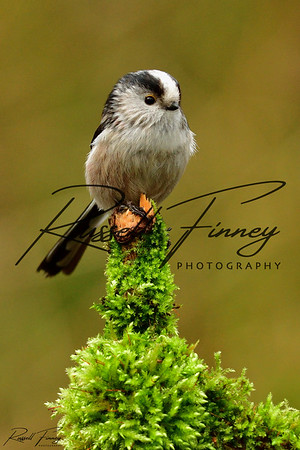 Long Tailed Tit russellfinneyphotography (3)