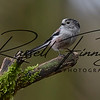 Long Tailed Tit russellfinneyphotography (13)