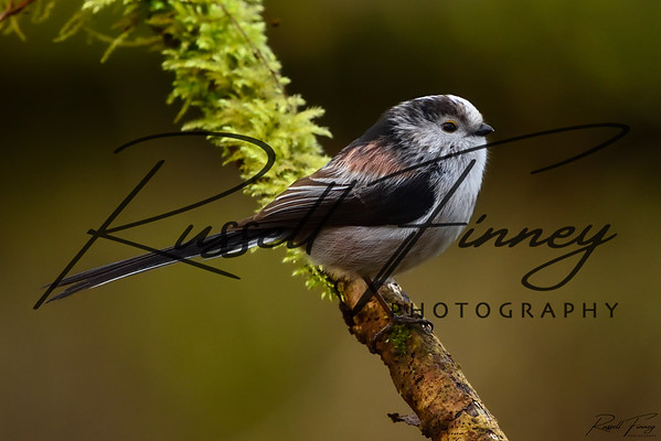 Long Tailed Tit russellfinneyphotography (4)
