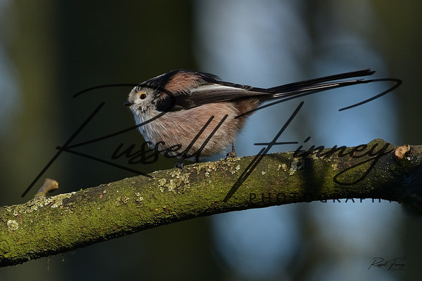 Long Tailed Tit russellfinneyphotography (5)
