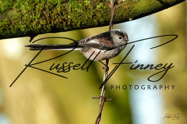 Long Tailed Tit russellfinneyphotography (6)