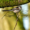 Long Tailed Tit russellfinneyphotography (7)
