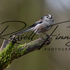 Long Tailed Tit russellfinneyphotography (12)