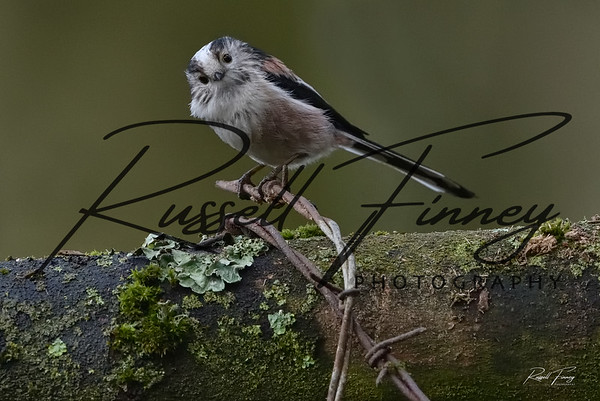 Long Tailed Tit russellfinneyphotography (11)