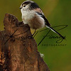 Long Tailed Tit russellfinneyphotography (1)