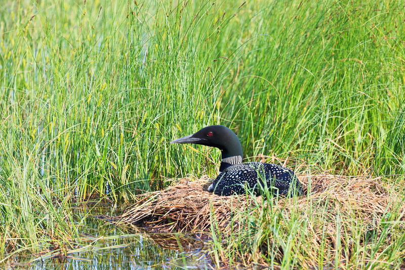 Nesting Loon<br /> <br />  Grand Portage Indian Reservation <br /> Grand Portge, Minnesota <br /> (5II2-00353)