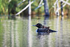 Loons on the Lake <br /> <br />  Grand Portage Indian Reservation <br /> Grand Portge, Minnesota <br /> (5II2-01597)