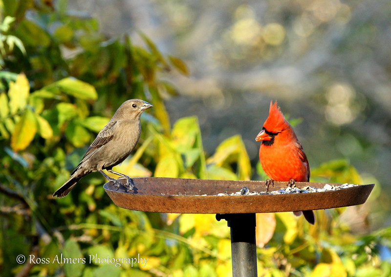 Cowbird Female and Northern Cardinal