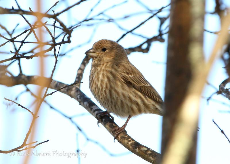 Finch Perching