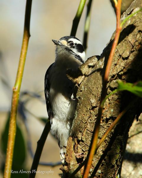 Woodpecker Staredown