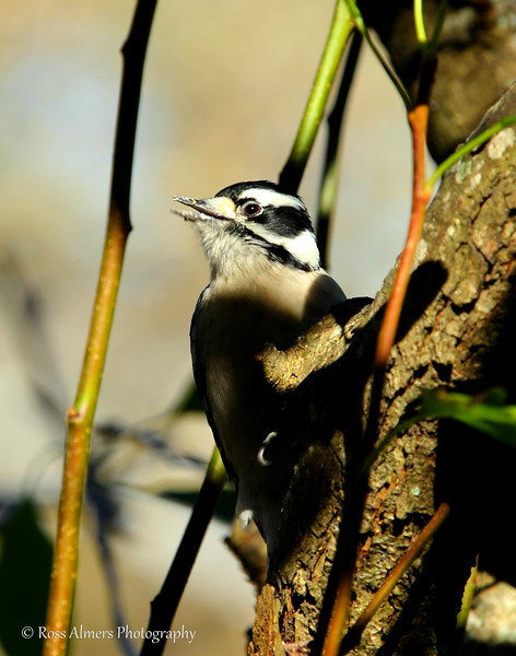 Jolly Woodpecker Staredown