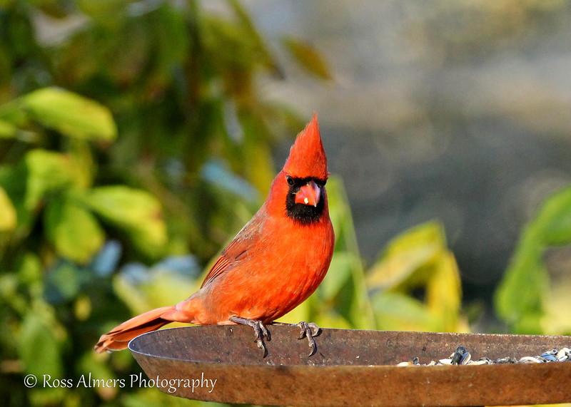 Northern Cardinal Staredown