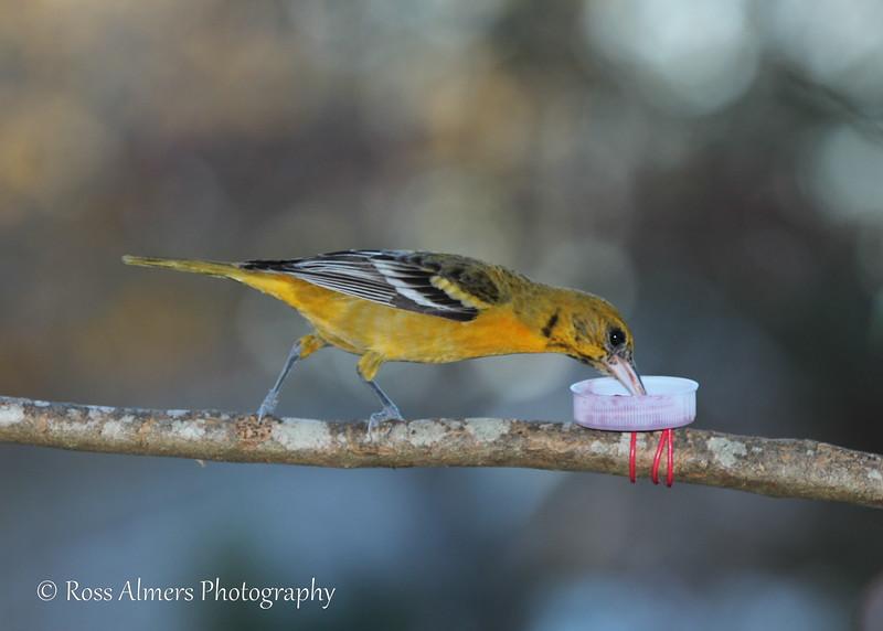 Baltimore Oriole Female Feeding