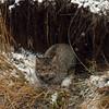 lynx hiding
