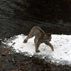 a wet lynx