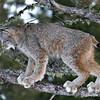 lynx up a tree