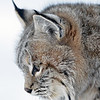 close up of lynx head side view