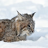 lynx in snow close up