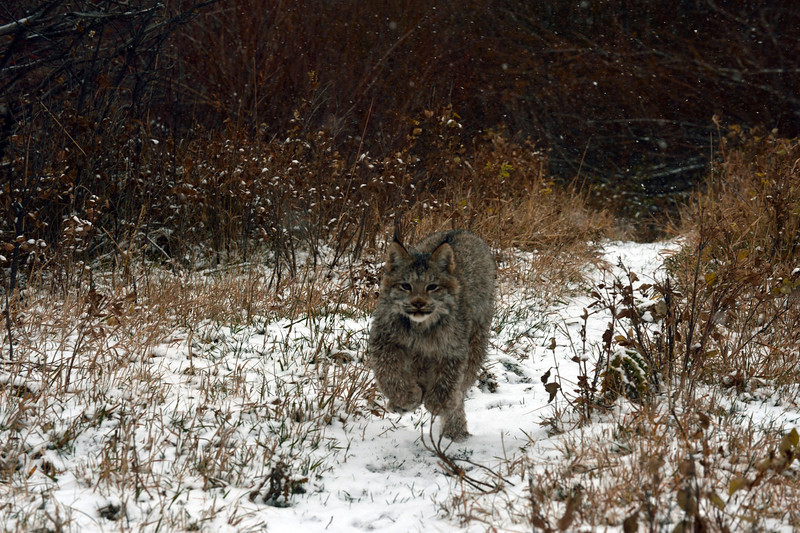 lynx running  in snow