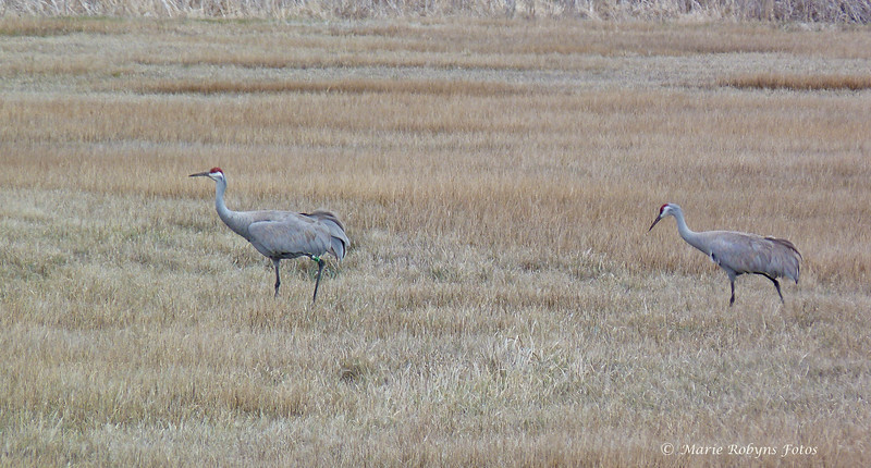 Greater sandhill cranes at the Modoc National Wildlife Refuge at Alturas, California. Photographed April 11, 2011 at 11:35 am.