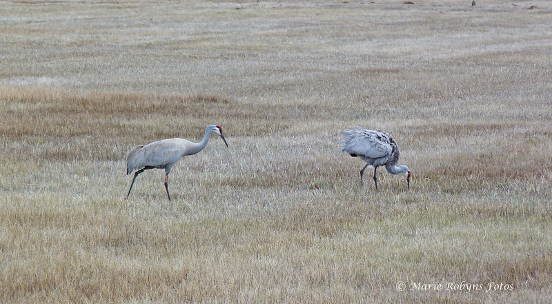 Greater Sandhill Cranes at the Modoc National Wildlife Refuge at Alturas, California. Photographed April 11, 2012 at 11:37 am.