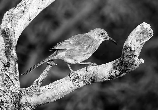Madera Birding