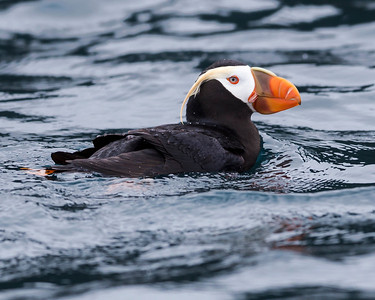 Tufted Puffin, Seward Alaska