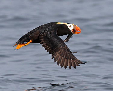 Tufted Puffin, Photograph captured near Seward, Alaska.