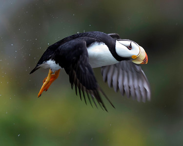 Horned Puffin, Lake Clark National Park