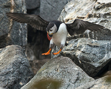 Atlantic Puffin,  Machias Seal Island.
