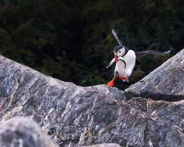 Atlantic Puffins,  Machias Seal Island
