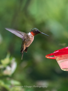 Hummingbird Male 6 Aug 2018-3192