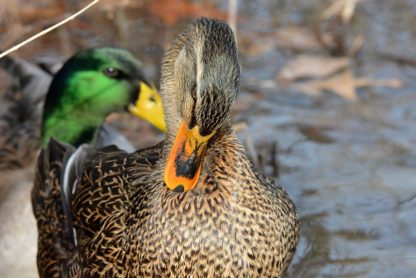 Mallard Ducks at Shawnee Mission Park 1.19.15