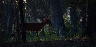 Deer 20