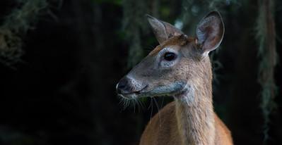 Deer 11