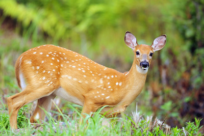 A whitetail deer fawn near the end of summer in Northern Wisconsin.