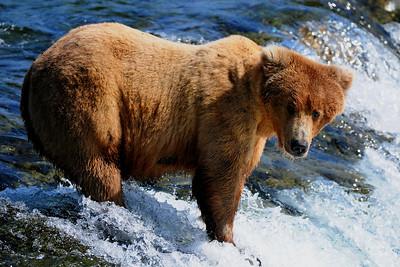 An Alaska brown bear awaiting fish, Katmai National Park, Alaska.
