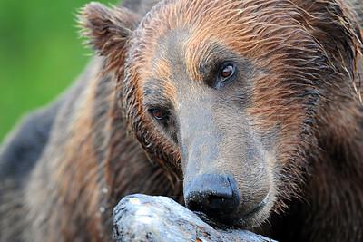 A coastal brown bear checking out some driftwood, Katmai National Park, Alaska.