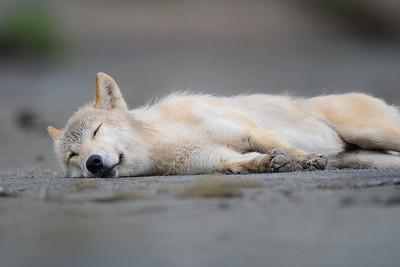 A young female wolf in Katmai National Park, Alaska.
