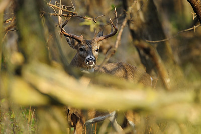 A Wisconsin whitetail buck peering through the woods near Green Bay, Wisconsin.