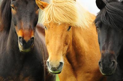 A group of Icelandinc horses in a field near Myvatn in Northeast Iceland.