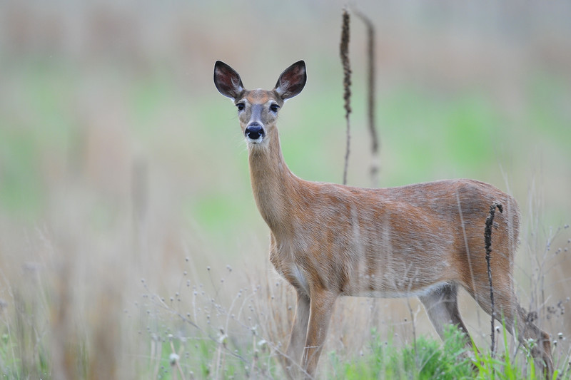 Doe whitetail stepping through the tall grass, Wisconsin.