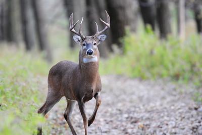 A big Wisconsin buck.