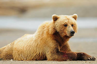 A female coastal brown bear after feasting on salmon, Katmai National Park, Alaska.
